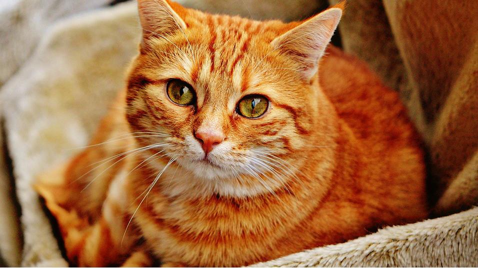 Робота для котиків: Львівський музей відкрив вакансію рудого кота