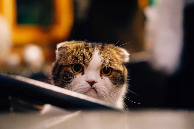 Кот с хмурым выражением лица выглядывает из-за стола